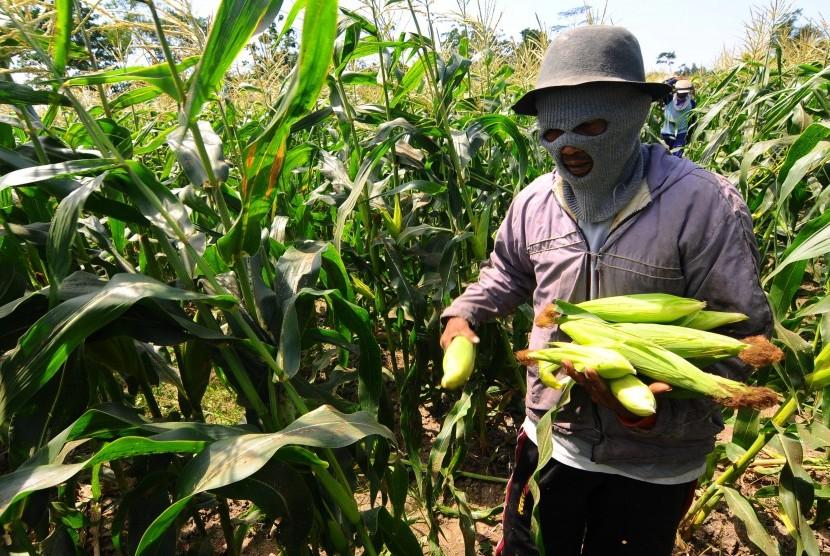 Benih jagung manis sedang banyak diburu perusahaan yang bergerak dibidang pertanian.