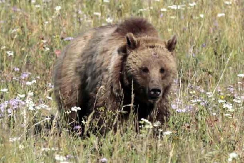 Beruang (ilustrasi)