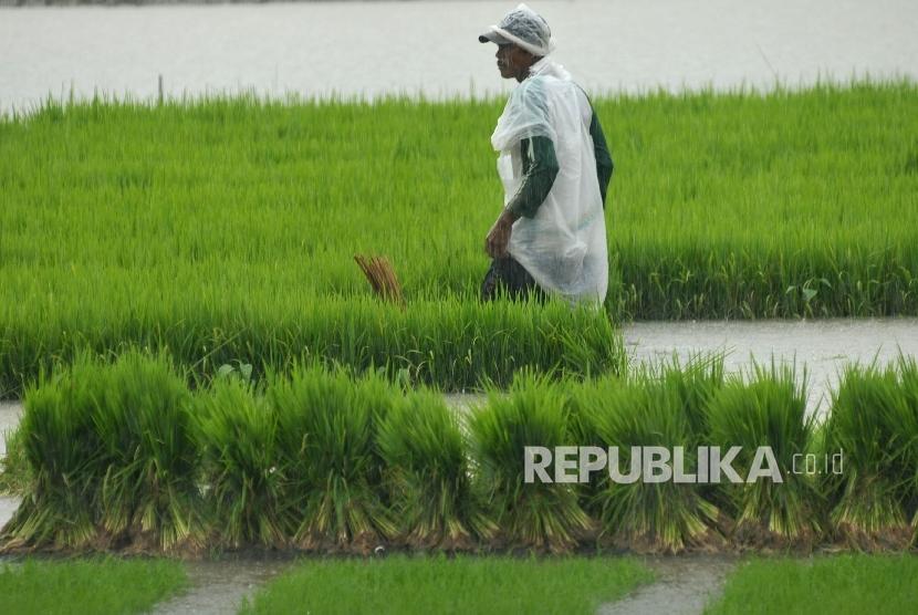 Bibit benih padi siap untuk ditanam di areal persawahan.