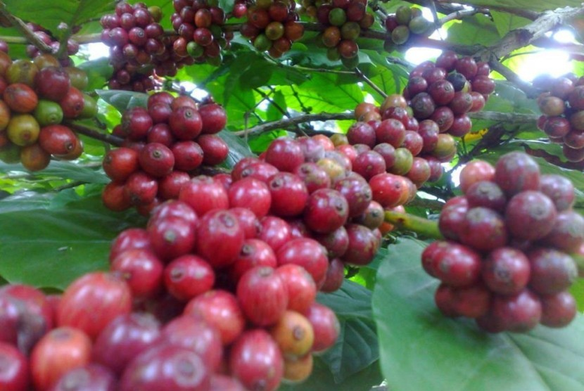 Buah ceri kopi Ledug yang siap dipanen di kebun kopi di Gunung Welirang, Pasuruan, Jawa Timur.
