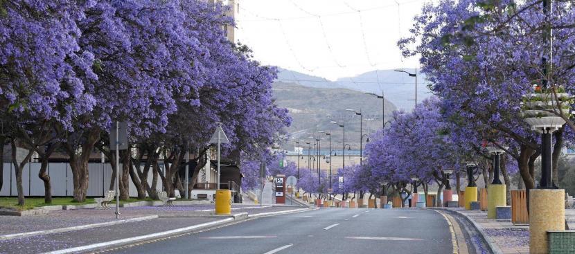 Kota Abha Di Arab Saudi Dipenuhi Mekar Bunga Berwarna Ungu Ihram
