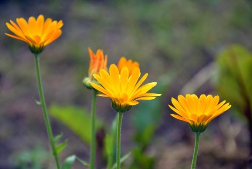 Bunga Calendula Untuk Perawatan Kulit Bayi Republika Online