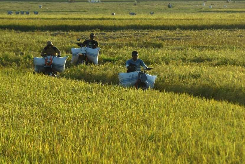 Buruh mengangkut gabah hasil panen di Paria, Barru, Sulawesi Selatan. (ilustrasi)