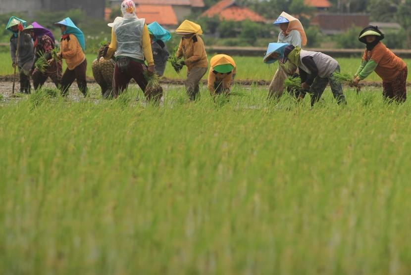 Buruh tani menanam padi.