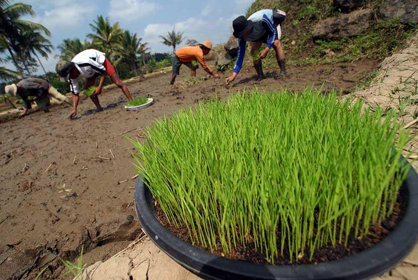 Buruh tani menanam padi organik varietas sintanur di Kampung Lakob, Cisayong, Tasikmalaya, Jawa Barat.