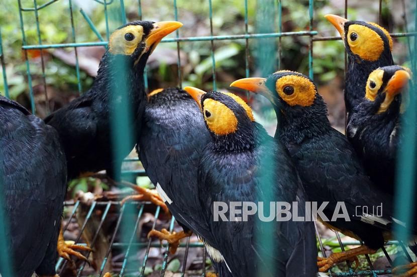 Burung Mino Muka Kuning (Mino Dumontii) berada di kandand sebelum dilepasliarkan di Taman Wisata Alam (TWA) Kota Sorong, Papua Barat, Selasa (14/9/2021). Balai Besar Konservasi Sumber Daya Alam (BBKSDA) Papua Barat melepasliarkan sejumlah satwa endemik Papua hasil penggagalan penyelundupan diantaranya Burung Mino Muka Kuning (Mino Dumontii), Burung Merpati Hutan (Ducula Sp), Burung Walik (Ptilinopus Sp) dan Landak Irian (Zaglossus bruijnii).
