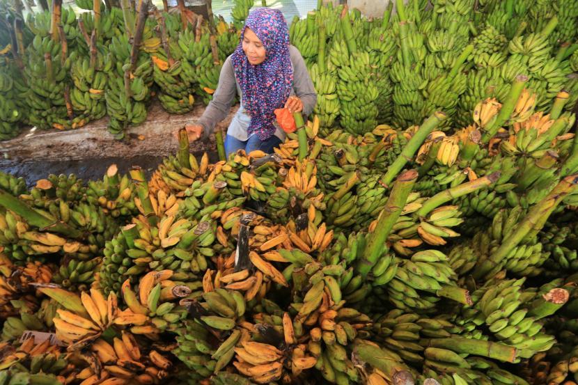 Calon pembeli memilih buah pisang di kawasan Pasar Bina Usaha, Meulaboh, Aceh Barat, Aceh, Rabu (21/4/2021). Permintaan dan penjualan pisang selama bulan Ramadhan mengalami kenaikan hingga 150 persen dari biasanya untuk kebutuhan salah satu bahan pembuatan makanan khas untuk buka puasa seperti kolak pisang.