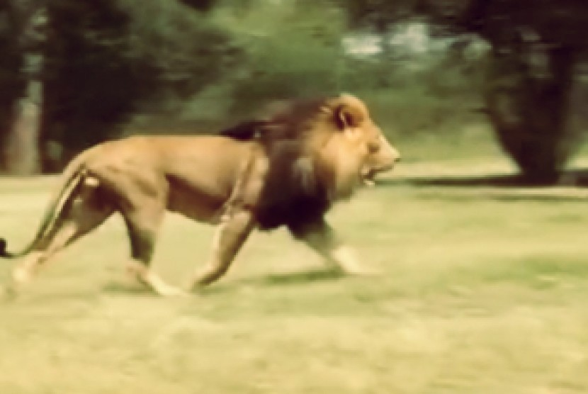 Singa afrika.