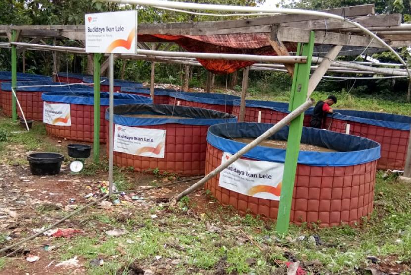 Desa Pemagarsari binaan Rumah Zakat melakukan panen ikan lele.