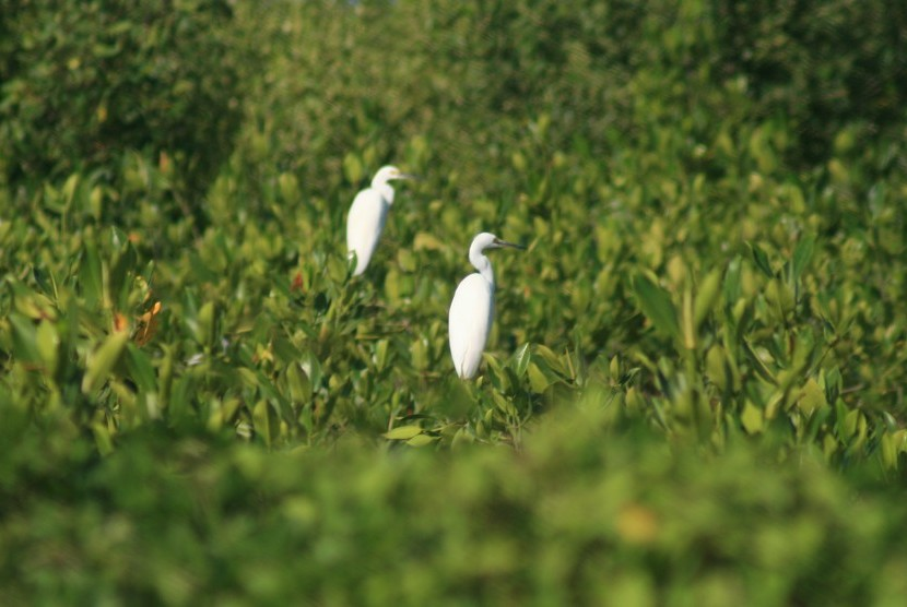 Dua ekor burung hinggap di hutan manggrove. (ilustrasi)