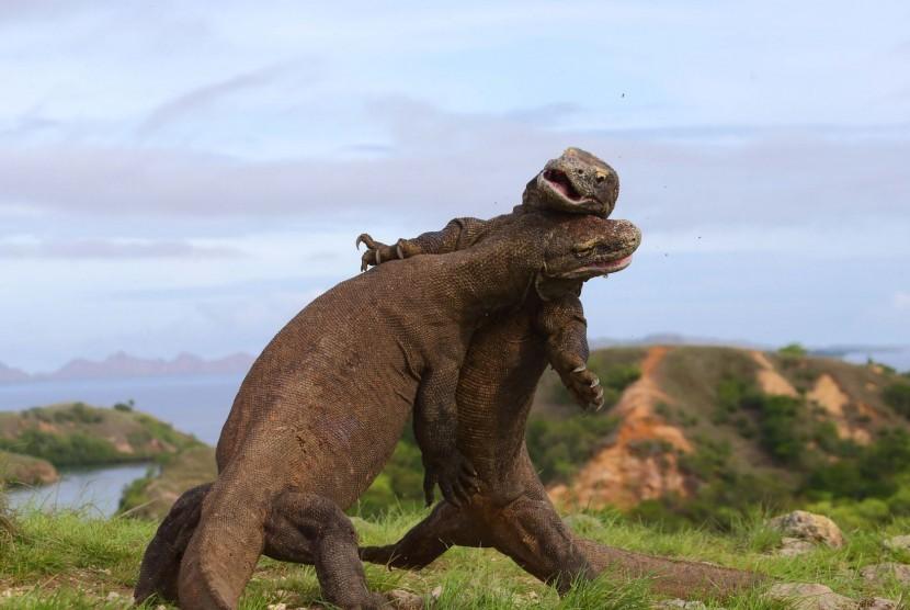 Dua Komodo bergulat di Pulau Komodo