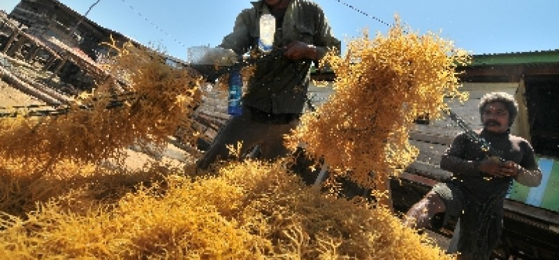 Dua orang petani budidaya rumput laut memisahkan tali pengikat dengan rumput laut hasil panennya (ilustrasi).