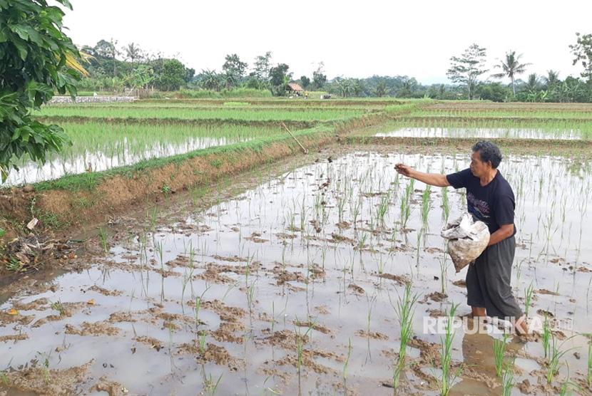 Petani sedang menabur pupuk organik di areal persawahannya (ilustrasi)