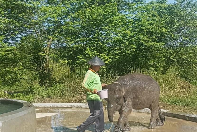 Erin, gajah sumatra betina berusia empat tahun, terpotong belalainya.