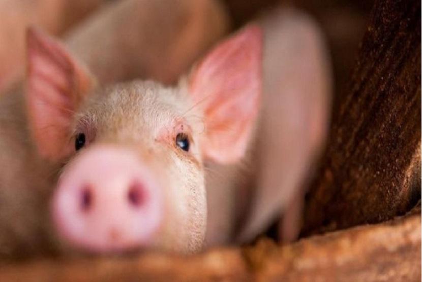 Flu Babi (ilustrasi). Penyakit Flu Babi yang dilaporkan oleh ilmuwan China adalah penyakit yang disebabkan oleh virus infulenza H1N1 galur baru dan berpotensi menular dari hewan ke manusia (zoonosis), sedangkan kasus penyakit pada babi yang ada di Indonesia adalah penyakit ASF yang disebabkan oleh Virus ASF yang tidak dapat menular ke manusia