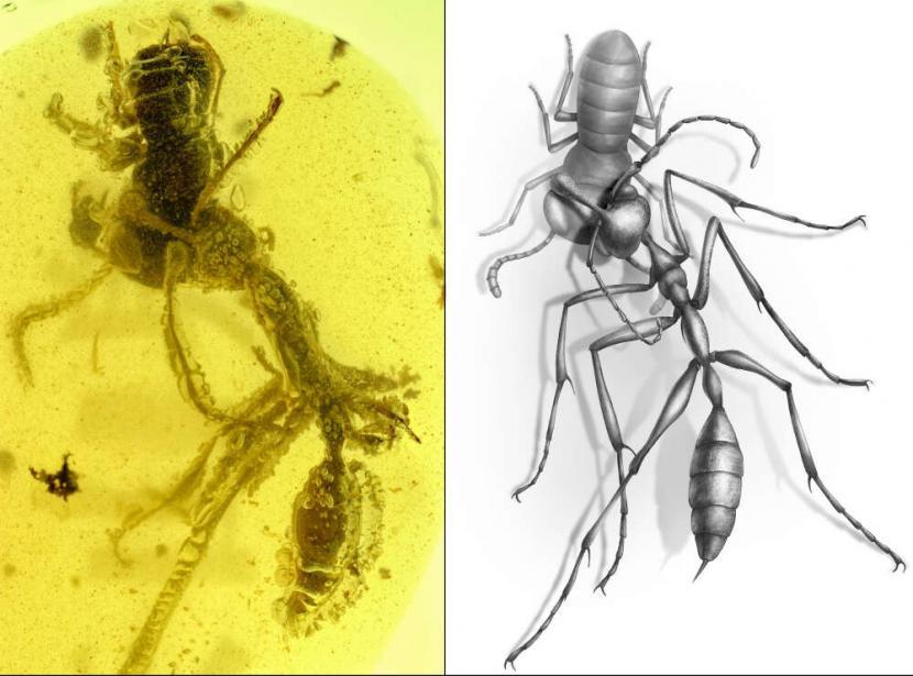 Fosil 99 Juta Tahun Tunjukkan Pertarungan Semut Ne