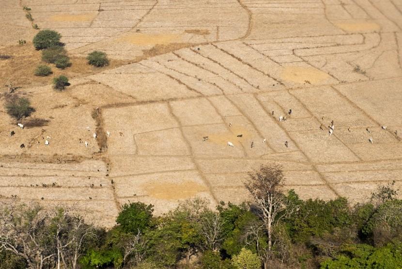Foto udara puluhan hewan ternak berada di ladang sawah tadah hujan yang mengalami kekeringan di Rote Ndao, Nusa Tenggara Timur, Selasa (18/8).