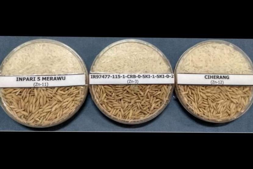 Gabah dan beras galur IR97477-115-1-CRB-0-SKI-1-SKI-0-2 (Inpari 46 Nutri Zinc), serta varietas pembanding.