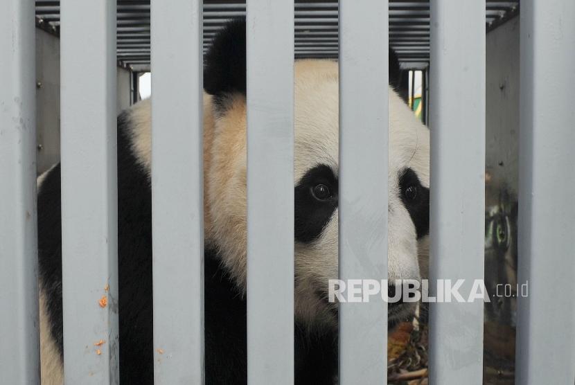 Giant Panda : Hu Chun, Giant Panda betina asal Cina tiba di Bandara Soekarno Hatta Indonesia dengan pesawat kargo Garuda Airlines, Kamis (28/9).