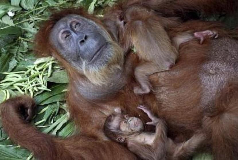 Gober si orangutan saat masih menderita katarak bersama anaknya