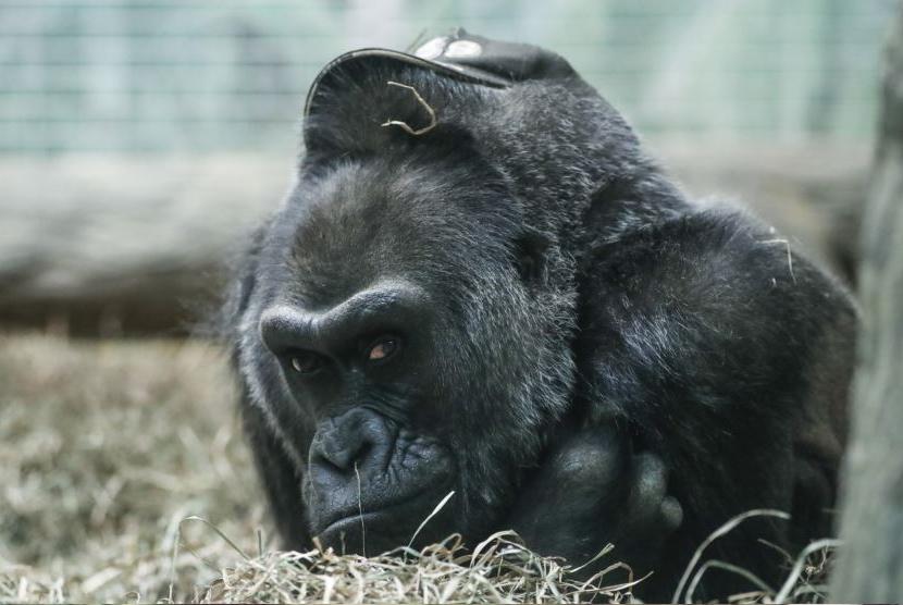 Gorila. (ilustrasi)
