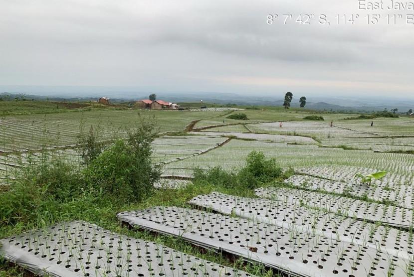 hamparan tanaman bawang putih di Desa Licin Kecamatan Licin Kabupaten Banyuwangi, Jawa Timur.