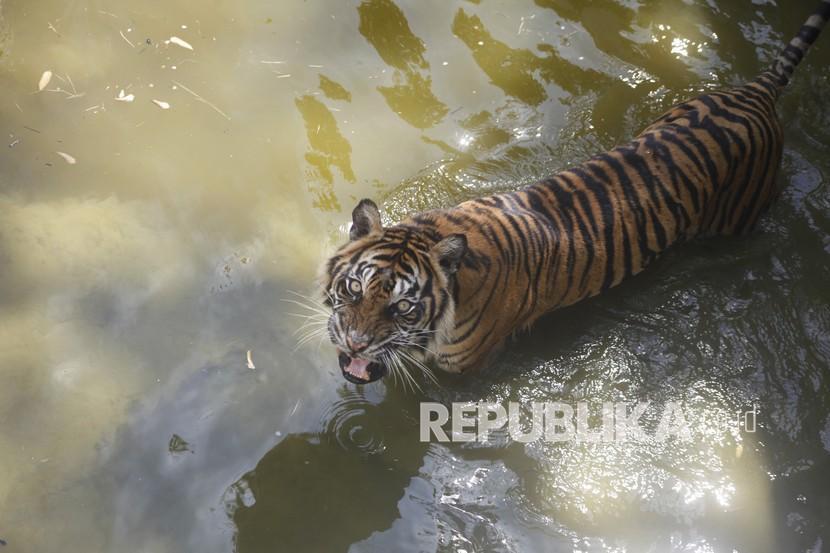 Harimau Sumatera (Panthera Tigris Sumatrae)