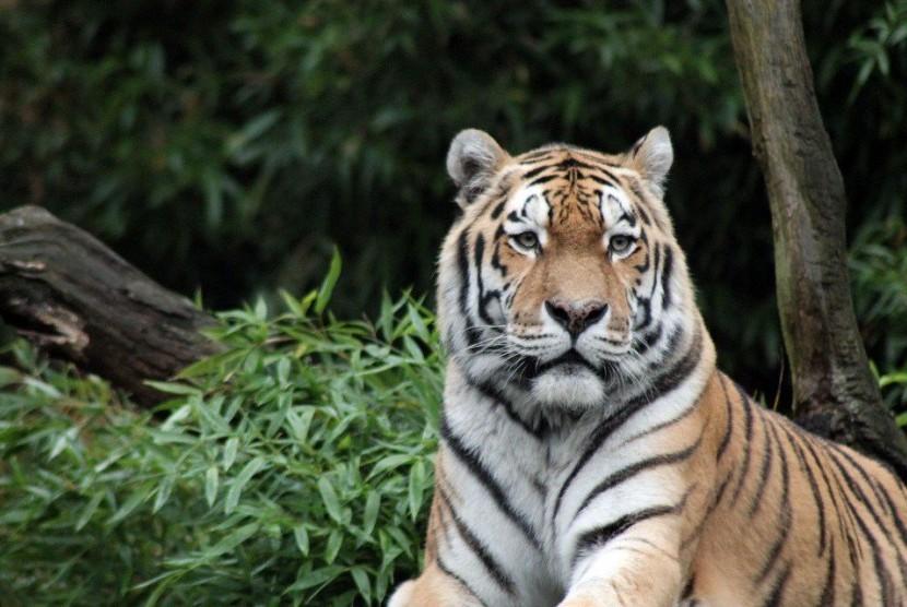 Harimau Sumatra yang hidup di hutan tropis Sumatra.