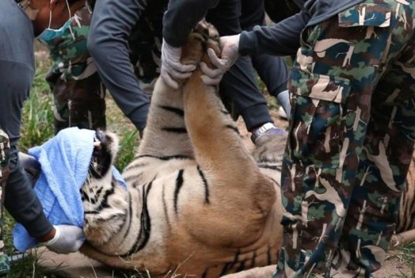 Harimau yang ditangkap di sebuah kuil di Thailand.
