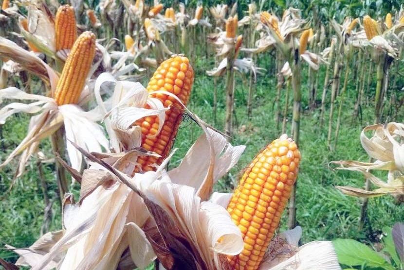 Hasil panen jagung (ilustrasi).