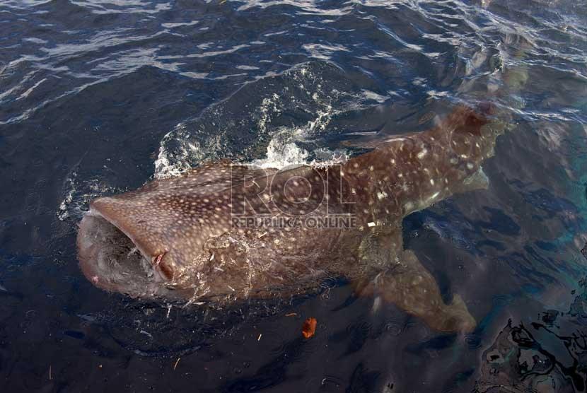 Download 96 Koleksi Gambar Ikan Hiu Paus HD Terpopuler