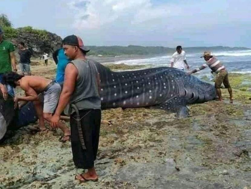 Hiu tutul yang ditemukan mati terdampar di perairan selatan wilayah Desa Cimanuk, Kecamatan Cikalong, Kabupaten Tasikmalaya, Rabu (3/3/2021).