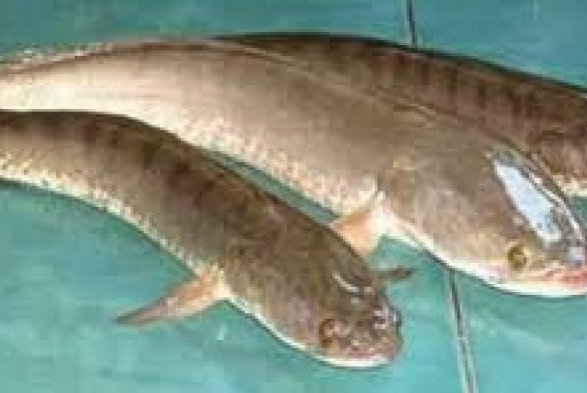 Jenis Ikan Gabus Gambar Ikan Dosen Its Teliti Ikan Gabus Sebagai Obat Diabetes Republika Online