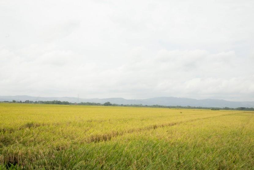 Luas Lahan Sawah di Sleman Terus Turun. Foto: Ilustrasi area sawah menjelang panen