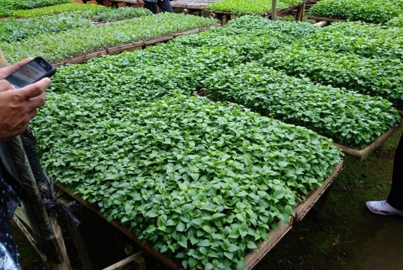 Ilustrasi benih bawang putih