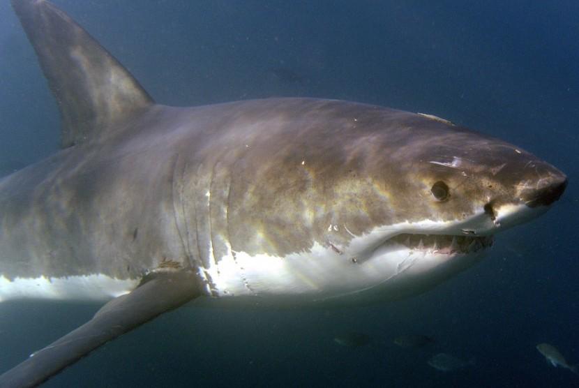 Ilustrasi ikan hiu.