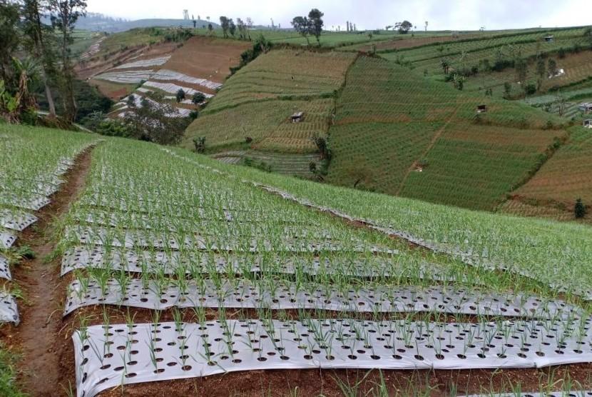 Ilustrasi llahan tanam bawang putih di Temanggung, Jawa Tengah.