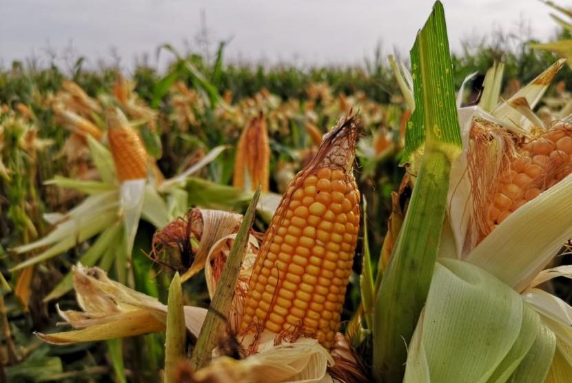 Ilustrasi panen jagung