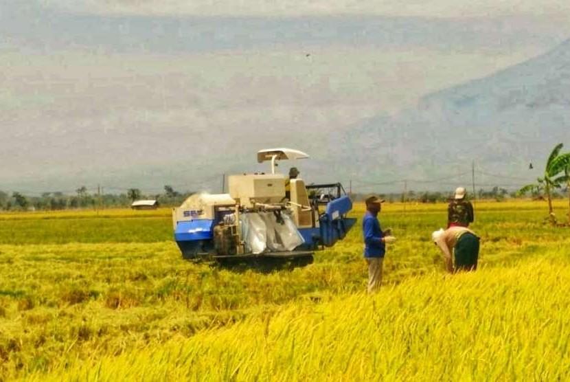 Ilustrasi panen padi di musim kemarau