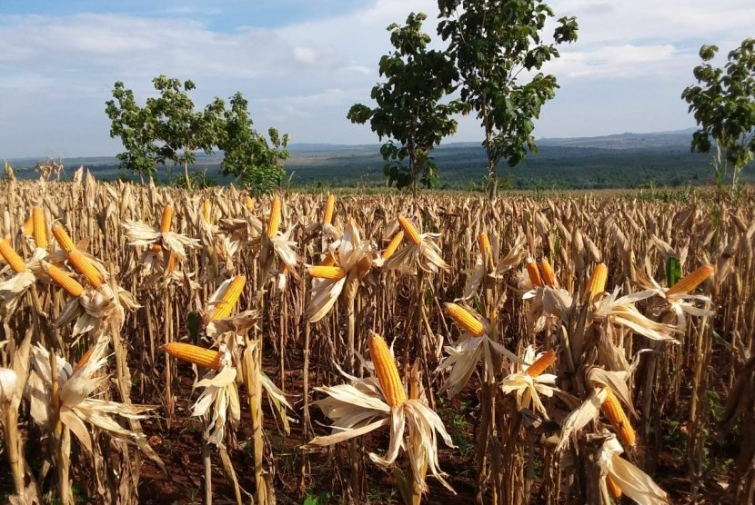 Ilustrasi panen raya jagung di sejumlah wilayah di Indonesia