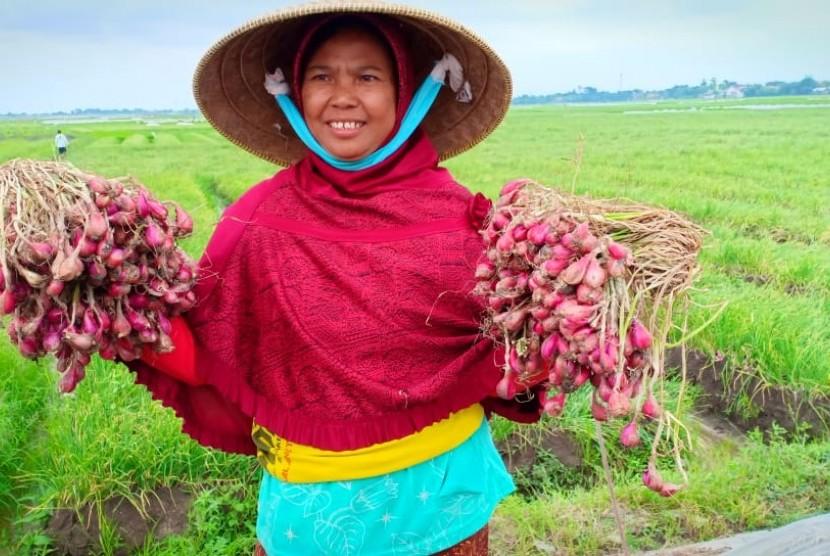 Ilustrasi petani bawang merah Brebes, Jawa Tengah.