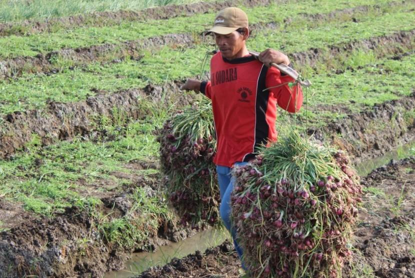 Ilustrasi  petani membawa bawang merah di Brebes, Jawa Tengah