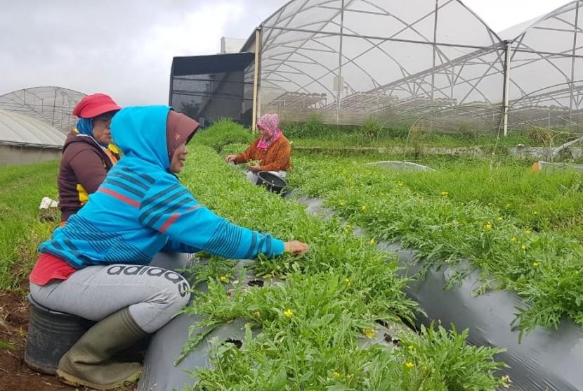 Ilustrasi petani menanam dengan sistem tumpangsari
