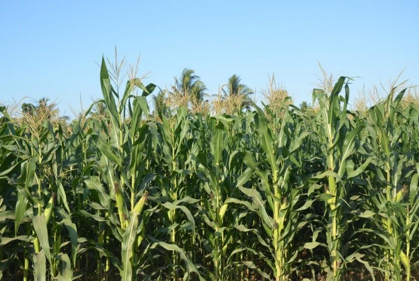 Ilustrasi tanaman jagung