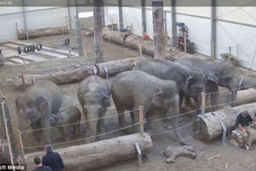 Induk gajah mengelus bayinya yang mati