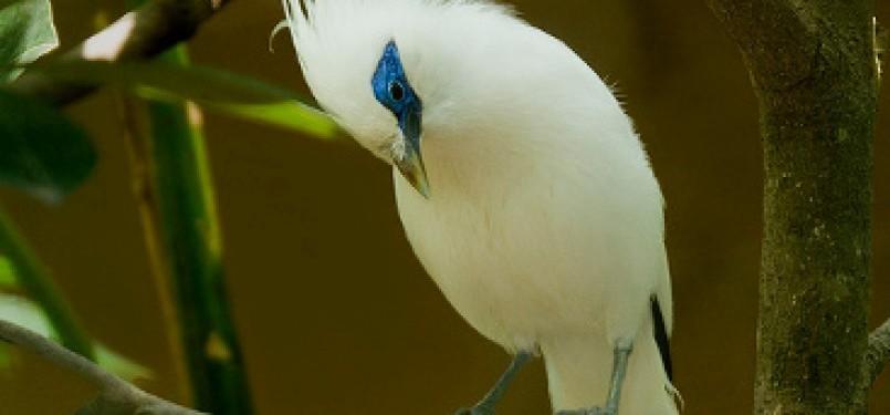 100 Gambar Burung Jalak Bali Dan Penjelasannya Gratis Terbaru