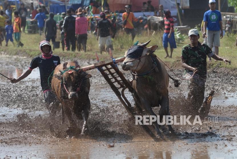 Joki memacu sepasang sapi saat mengikuti karapan sapi brujul di Wonoasih, Probolinggo, Jawa Timur, Sabtu (27/8). (Foto: Yasin Habibi/Repubilika)
