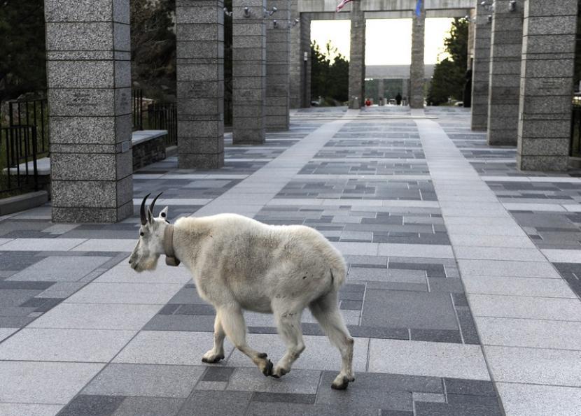 Arab Saudi Melepasliarkan Spesies Kambing Terancam Punah. (ilustrasi).