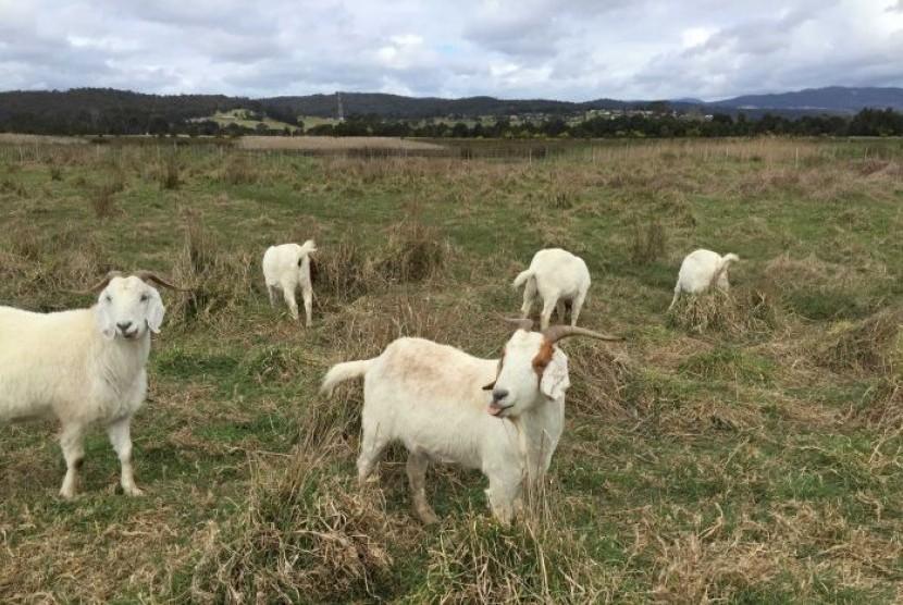 Kambing-kambing ini hanya mencari semak-semak untuk dimakan.