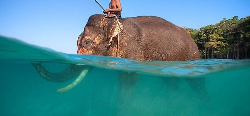 Rajan Gajah Yang Senang Difoto Saat Berenang Di Laut Republika